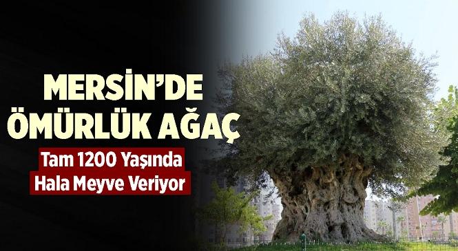 Mersin'de 1204 Yıllık Tarih! Odun Olmayı Beklerken Şimdi Meyvesi Toplanıyor