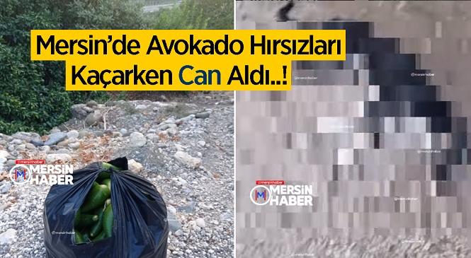 Mersin'in Erdemli İlçesinde Avokado Çalan Hırsızlar Kaçarken Köpeğe Çarptı