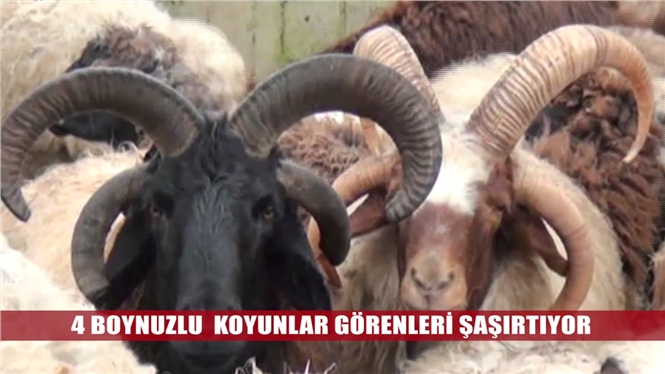 Tarsus'un 4 boynuzlu koçları