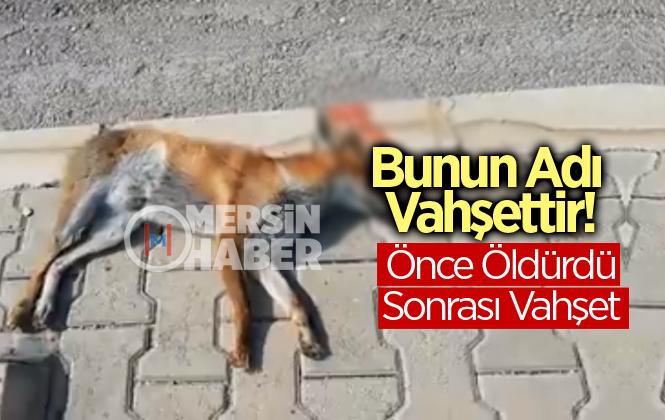 Mersin'de Arabayla Çarparak Öldürülen Tilkinin Kuyruğunu kestiler