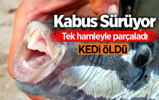 Mersin'de Balon Balığını Yiyen Kedi Öldü İddiası