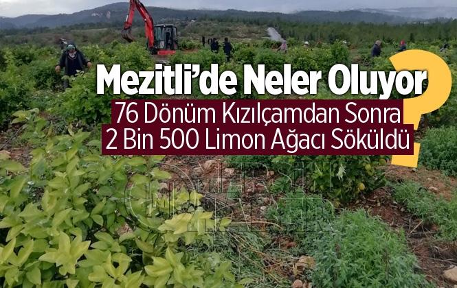 Mersin Mezitli'de 2 bin 500 Adet Limon Ağacı Söküldü