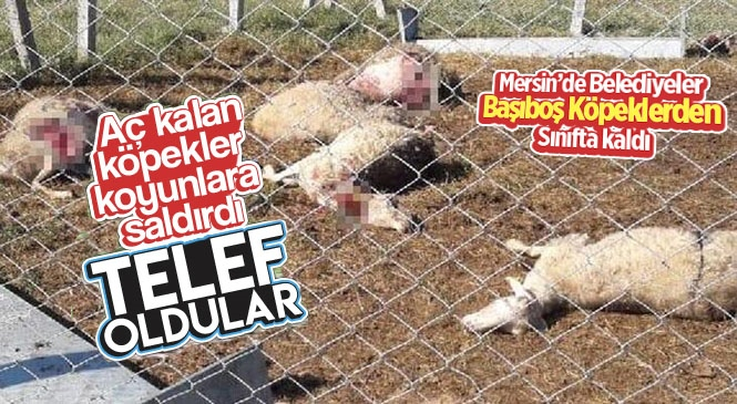 Mersin'de Başıboş Sokak Köpekleri Koyunları Parçaladı